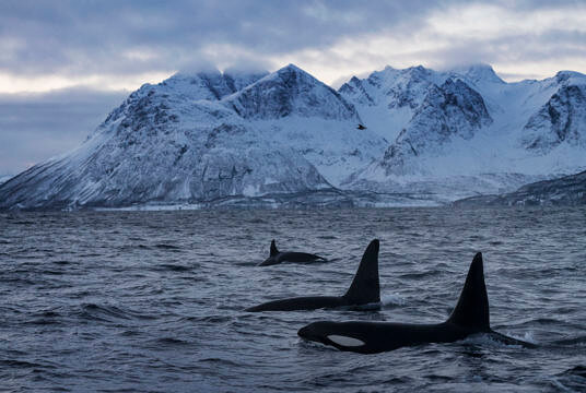 Orcas in Norway for T+L
